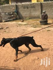 Animal | Dogs & Puppies for sale in Greater Accra, Kwashieman