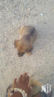 Young Male Mixed Breed Mongrel (No Breed) | Dogs & Puppies for sale in Central Region, Gomoa East