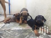 Baby Female Mixed Breed German Shepherd Dog | Dogs & Puppies for sale in Greater Accra, East Legon (Okponglo)