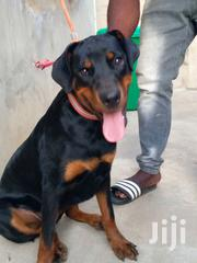 Young Female Purebred Rottweiler   Dogs & Puppies for sale in Greater Accra, Odorkor