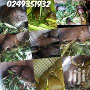 Grasscutter Farm | Other Animals for sale in Greater Accra, Tema Metropolitan