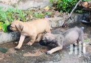 Baby Female Purebred Boerboel | Dogs & Puppies for sale in Greater Accra, Labadi-Aborm