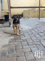 Baby Male Purebred German Shepherd Dog | Dogs & Puppies for sale in Greater Accra, North Kaneshie