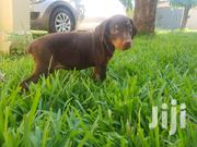 Baby Male Purebred Doberman Pinscher | Dogs & Puppies for sale in Greater Accra, East Legon