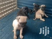 Baby Male Purebred Pug | Dogs & Puppies for sale in Greater Accra, East Legon