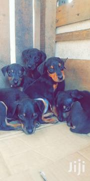 Young Male Purebred Doberman Pinscher | Dogs & Puppies for sale in Greater Accra, Mataheko