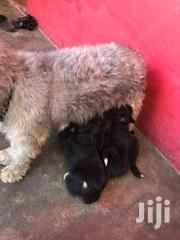 Baby Female Purebred Poodle | Dogs & Puppies for sale in Greater Accra, Nungua East