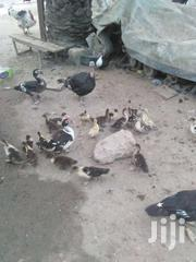 Muscovy Ducklings | Other Animals for sale in Ashanti, Kumasi Metropolitan