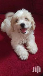 Poodle | Dogs & Puppies for sale in Greater Accra, Burma Camp