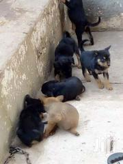 Mix Breed Puppy's Available | Dogs & Puppies for sale in Ashanti, Atwima Mponua
