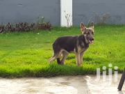 Baby Female Purebred German Shepherd Dog | Dogs & Puppies for sale in Greater Accra, East Legon
