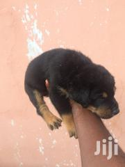 Young Male Purebred Rottweiler | Dogs & Puppies for sale in Greater Accra, Adenta Municipal