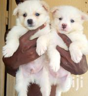 Baby Male Purebred Japanese Spitz | Dogs & Puppies for sale in Greater Accra, Ga South Municipal