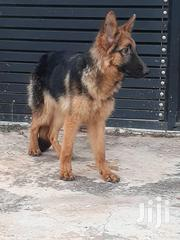 Young Male Purebred German Shepherd Dog | Dogs & Puppies for sale in Greater Accra, Accra Metropolitan