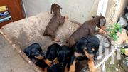 Baby Female Purebred Doberman Pinscher | Dogs & Puppies for sale in Greater Accra, East Legon