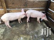 4 Months Piglets For Sale At An Affordable Price | Livestock & Poultry for sale in Eastern Region, New-Juaben Municipal