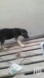 Senior Male Mixed Breed American English Coonhound | Dogs & Puppies for sale in Greater Accra, East Legon