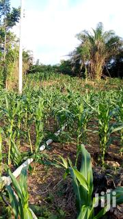 Fresh 🌽 Corn For Sale | Feeds, Supplements & Seeds for sale in Western Region, Ahanta West