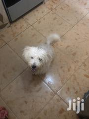 Young Female Purebred Poodle | Dogs & Puppies for sale in Greater Accra, East Legon
