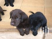 Baby Male Purebred Labrador Retriever | Dogs & Puppies for sale in Greater Accra, East Legon