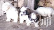 Baby Male Purebred Shih Tzu | Dogs & Puppies for sale in Greater Accra, Labadi-Aborm