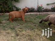 Top Boerboels For Sale | Dogs & Puppies for sale in Greater Accra, Ga South Municipal