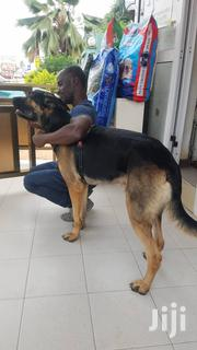 Baby Male Purebred German Shepherd Dog | Dogs & Puppies for sale in Greater Accra, Adenta Municipal