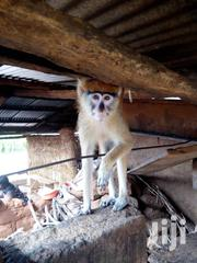 Infant Trained Monkey | Other Animals for sale in Greater Accra, Tema Metropolitan