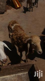 Sheep For Sale | Other Animals for sale in Northern Region, Gushegu