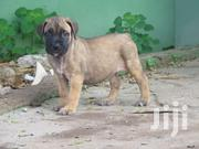 Young Male Purebred Boerboel | Dogs & Puppies for sale in Greater Accra, Achimota
