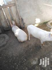 Pigs For Sale | Livestock & Poultry for sale in Central Region, Mfantsiman Municipal