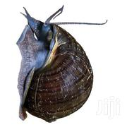 Mystery Snail | Other Animals for sale in Greater Accra, Accra Metropolitan