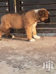 Baby Female Purebred Caucasian Shepherd Dog | Dogs & Puppies for sale in Greater Accra, Tema Metropolitan