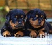 Rottweiler Puppies   Dogs & Puppies for sale in Greater Accra, Nungua East