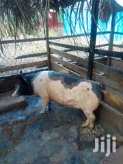 Helthy And Very Strong Pigs | Livestock & Poultry for sale in Greater Accra, Accra Metropolitan