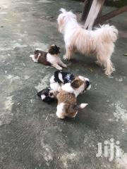 Young Female Purebred Shih Tzu | Dogs & Puppies for sale in Central Region, Gomoa East