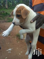 Baby Male Mixed Breed | Dogs & Puppies for sale in Greater Accra, Ga West Municipal