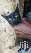 Young Female Purebred | Cats & Kittens for sale in Ga West Municipal, Greater Accra, Ghana