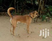 Local Breed Dog | Dogs & Puppies for sale in Greater Accra, East Legon