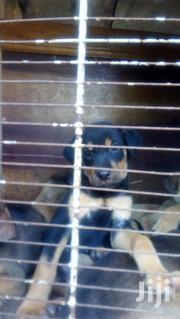 Baby Female Mixed Breed Doberman Pinscher | Dogs & Puppies for sale in Greater Accra, Achimota
