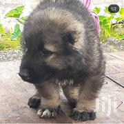Baby Female Purebred Caucasian Shepherd Dog | Dogs & Puppies for sale in Greater Accra, Dansoman