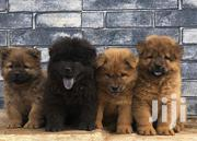 Young Male Purebred Chow Chow | Dogs & Puppies for sale in Greater Accra, Dansoman