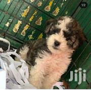 Young Female Purebred Poodle | Dogs & Puppies for sale in Greater Accra, Dansoman