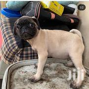 Young Male Purebred Pug | Dogs & Puppies for sale in Greater Accra, Dansoman
