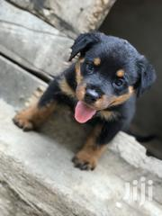 Baby Female Purebred Rottweiler | Dogs & Puppies for sale in Greater Accra, Ga South Municipal