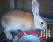 5month Grown Rabbit for Sale | Other Animals for sale in Greater Accra, Adenta Municipal