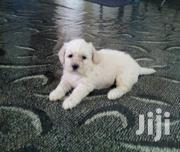 Young Male Purebred Maltese | Dogs & Puppies for sale in Greater Accra, Accra Metropolitan