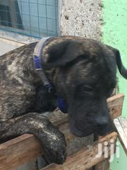 Young Male Purebred Mastiff | Dogs & Puppies for sale in Greater Accra, Nungua East