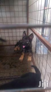 Pedigree Male And Female German Shepherd Puppies For Sale | Dogs & Puppies for sale in Greater Accra, Airport Residential Area