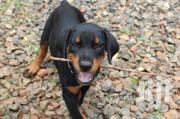 Baby Male Purebred Doberman Pinscher | Dogs & Puppies for sale in Greater Accra, Tema Metropolitan